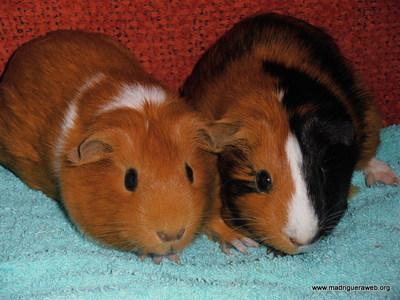 La madriguera adopta cobayas noeli adopci n de conejos - Informacion de cobayas ...